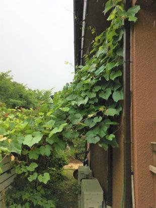ブドウの蔓